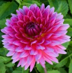 Dahlia Amberley Joan (Small Decorative)