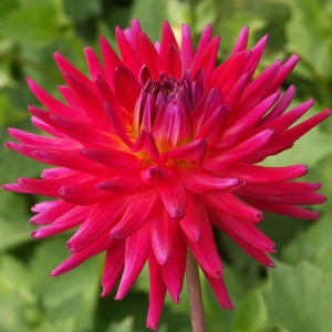 Dahlia_Mini Red (Miniture Cactus) 2808