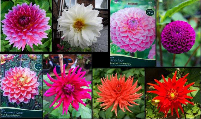 Dahlia's Wrong Colour & Type?