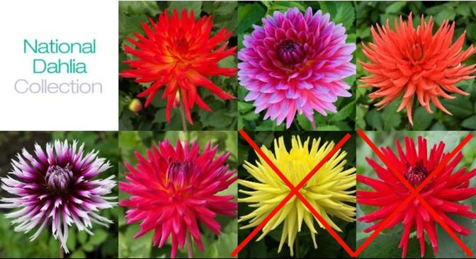 PART 4: Final Verdict on Dahlia Cuttings 6 months later – 'National Dahlia Collection'