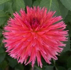 3307-clara-may (Medium Semi-Cactus) 8'